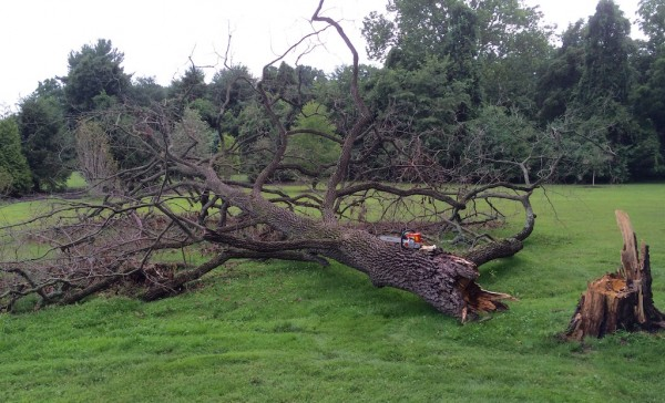 Persimmon tree down from recent storm